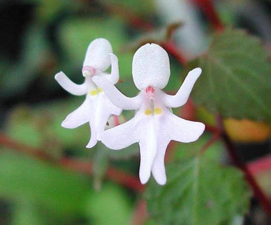 Dancing girl, Impatiens Bequaertii