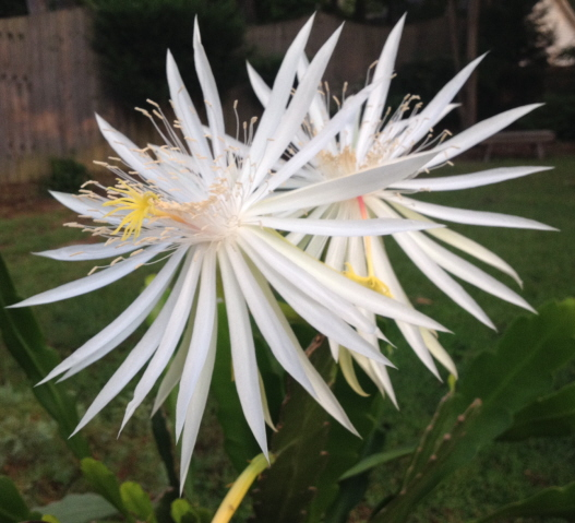 The night blooming cereus wakes up laughing in the early morning.