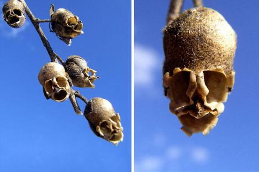 Things are not only as they seem.  Snapdragon seed pod (Antirrhinum)