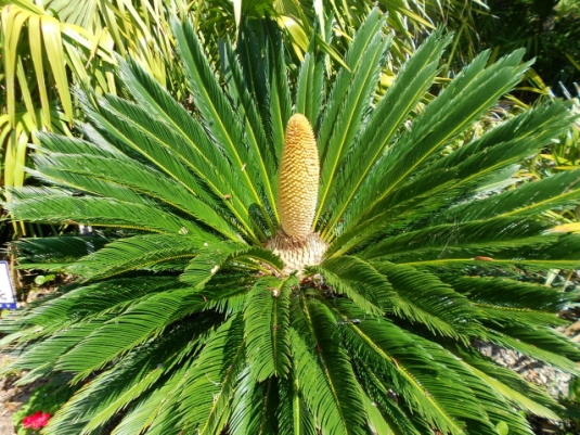 Cycad in bloom--a plant from the Triassic period. If cycads could talk...