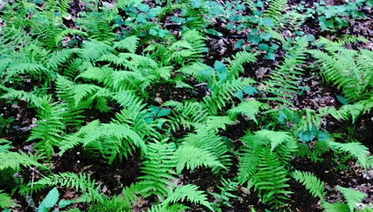 The ferns replace a fallen oak and make a home for an acorn to sprout.